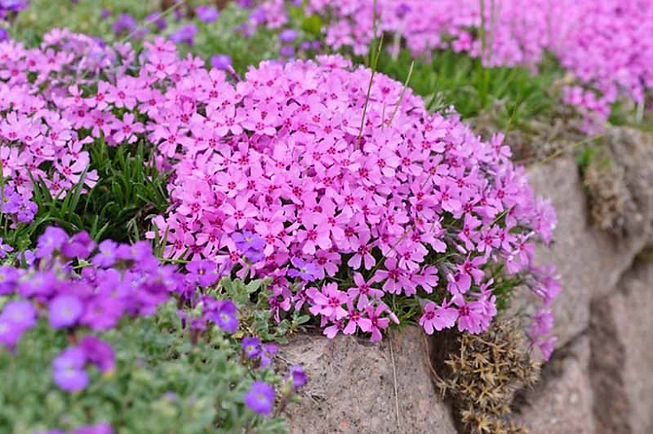 ground phlox.jpg