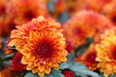 These are orange and red flowers called