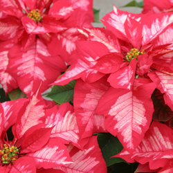 Poinsettias_ice-punch.png