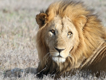 Identifying Lions