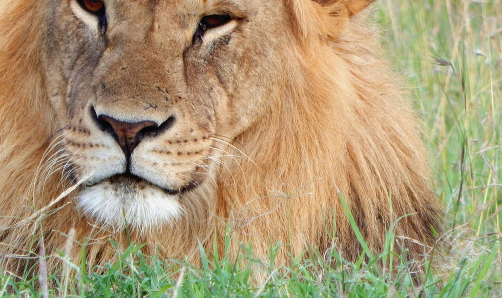 Nose of lion