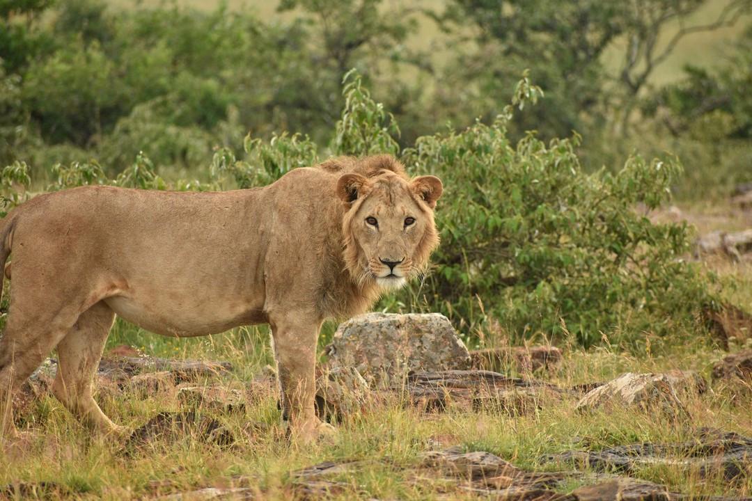 Male lion mane