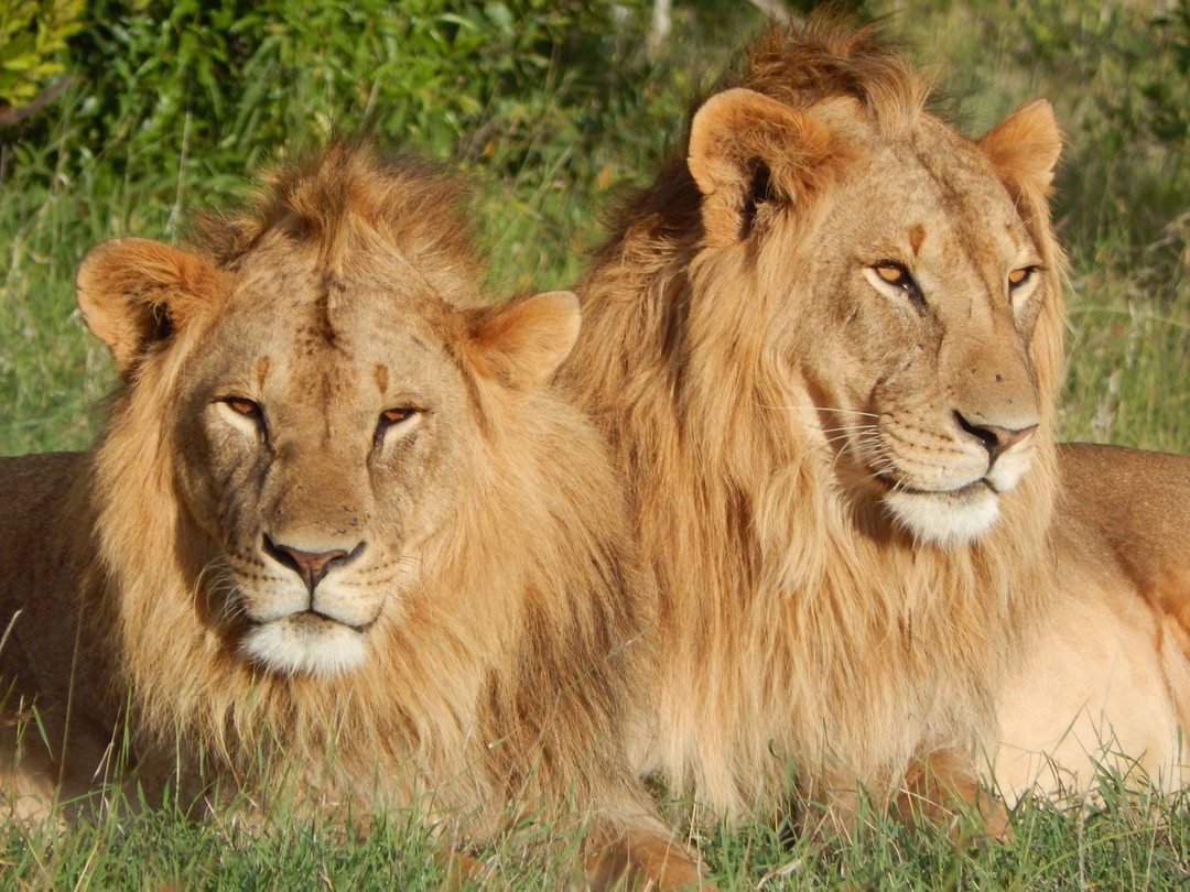 Coalition of lions