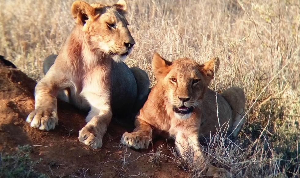 Lion cubs teeth