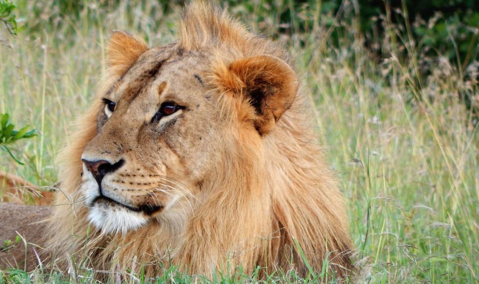 lion weight