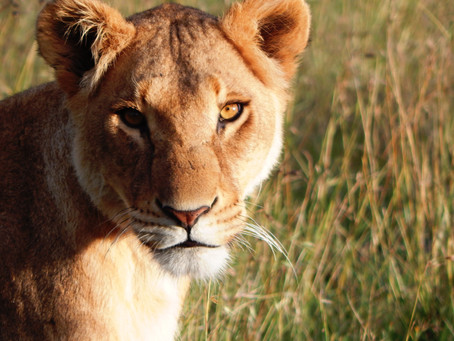 Celebrate World Lion Day by supporting our Lion Rangers in the Wildlife Ranger Challenge.