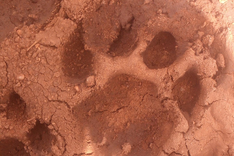 lion footprint