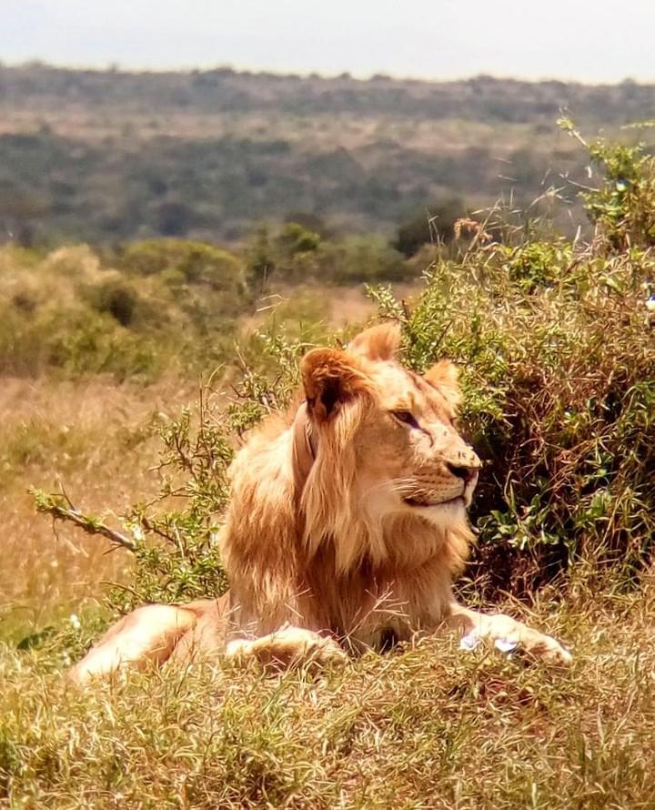 Lion in Lion Landscapes