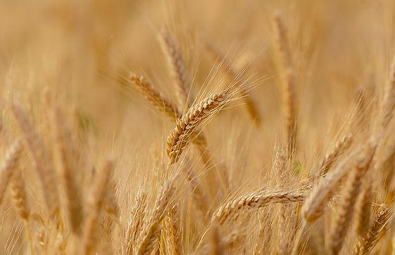 wheat-3241114_960_720.jpg