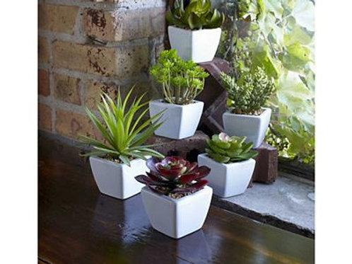 M.R. Potted Succulent