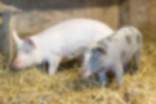 17_schweine_2.jpg