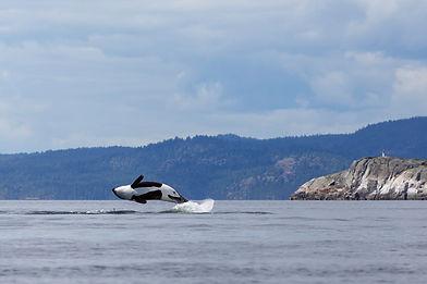 Orca breaching in Salish Sea
