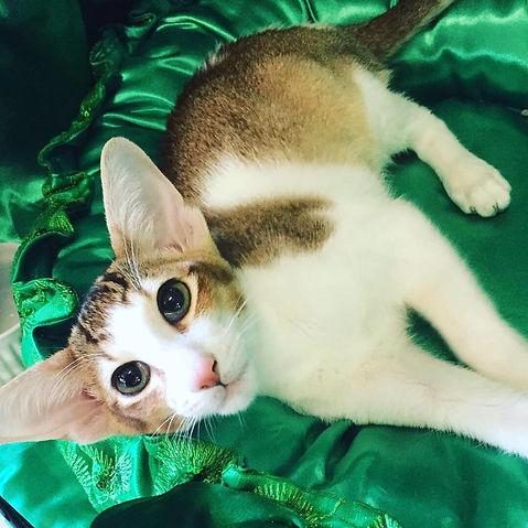 Juhraya Cat Show.jpg