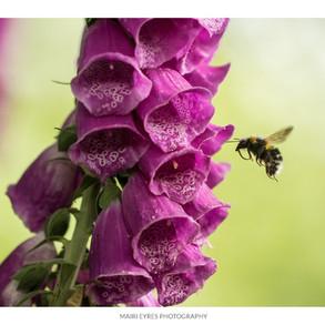 No. 65, 18th February: Bumblebee and foxglove