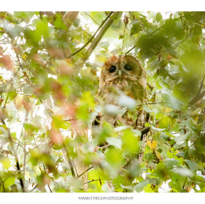No. 69, 15th August: Tawny owl