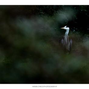 No. 64, 23rd January: Heron