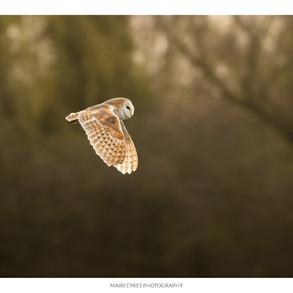 No. 67, 17th March: Barn owl