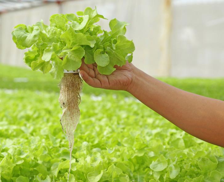 aquaponic-lettuce