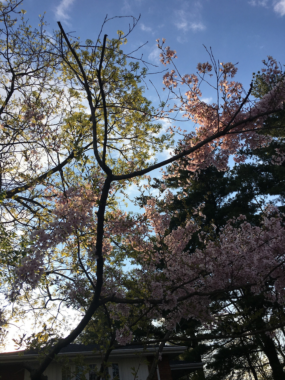 Theresa Abalos, photo of a flowering tree in Squirrel Hill, 2020.