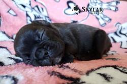 Criadero_Bulldog_Francés_México_Skylar_c
