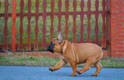 Cachorro_Bulldog_Francés_México_Rudolph4