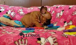 Lennox_Bulldog_Francés_cachorro_México_V