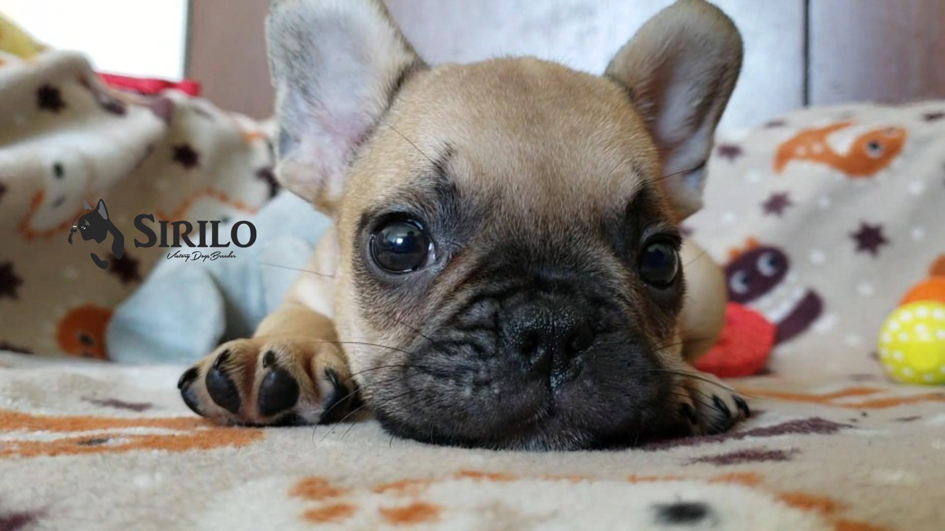 Sirilo_Bulldog_Francés_cachorro_Fawn_Méx