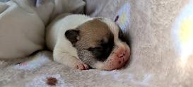 75 Cachorrito Bulldog Francés VDB Febre