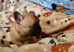 Bulldog_Francés_México_Mary_Poppins_cach
