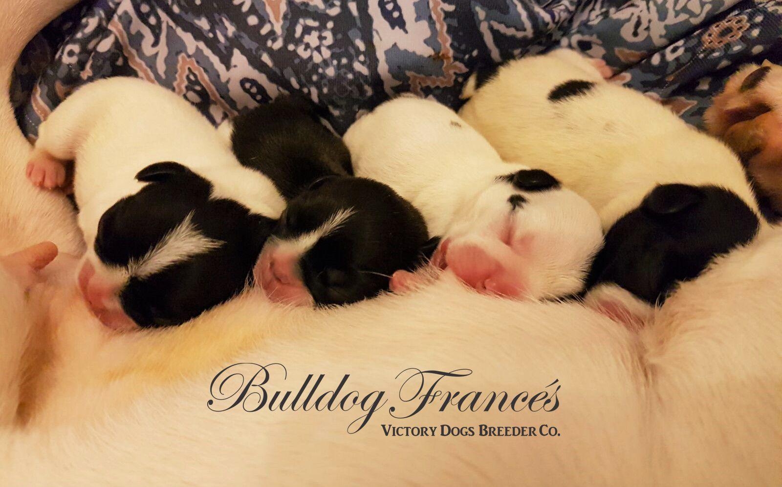 Cachorros Bulldog Francés México