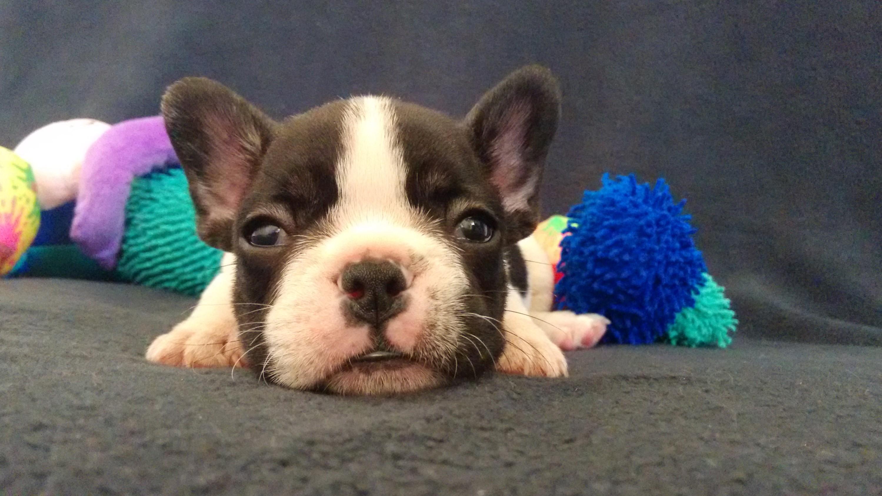 Bulldog Francés México