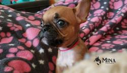 Mina_Bulldog_Francés_cachorro_México_VDB