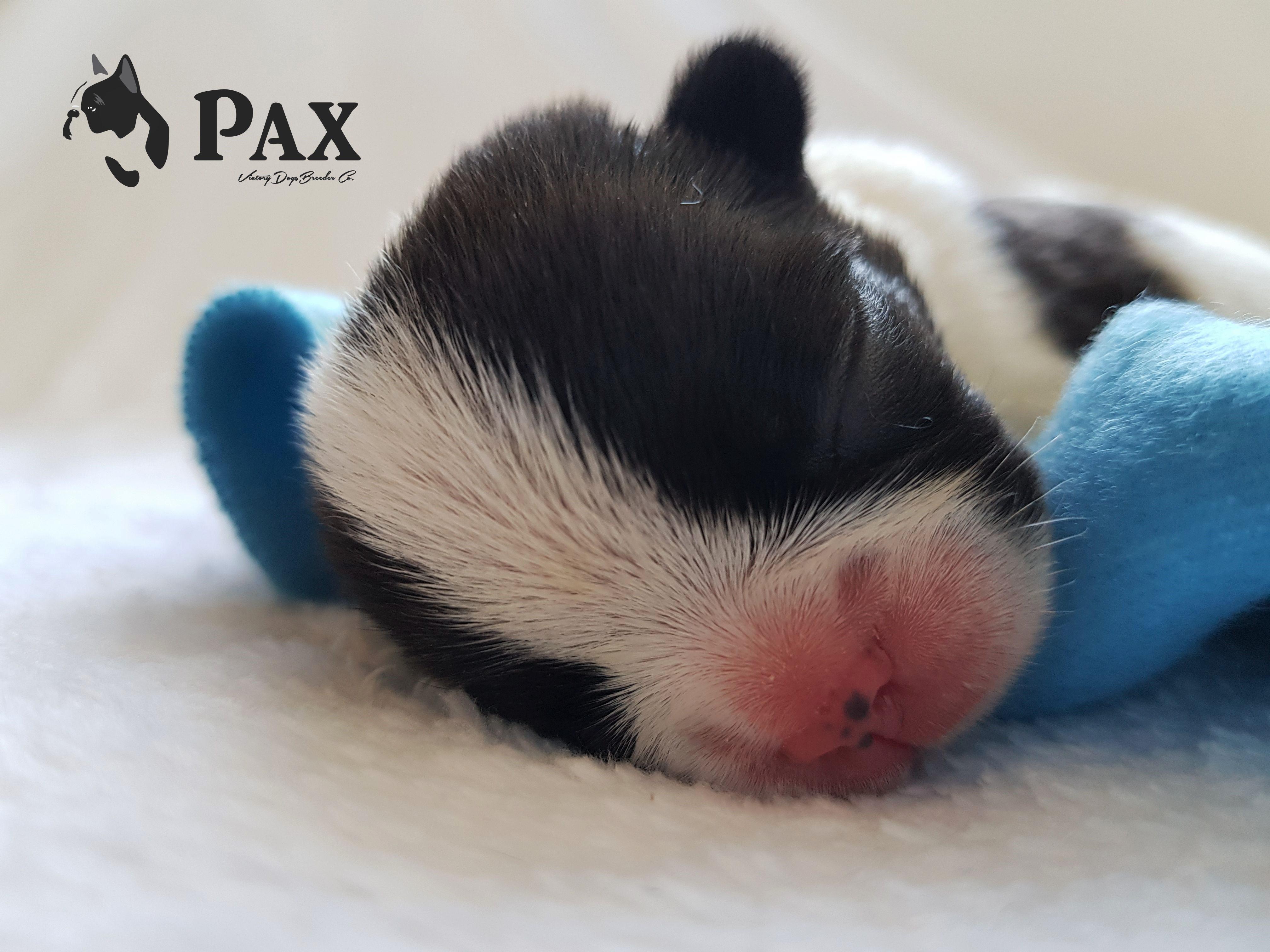 Cachorrito_Bulldog_Francés_México_Pax3S2