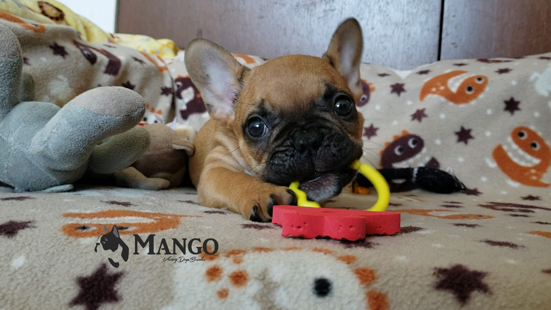 Mango_Bulldog_Francés_cachorro_México_VD