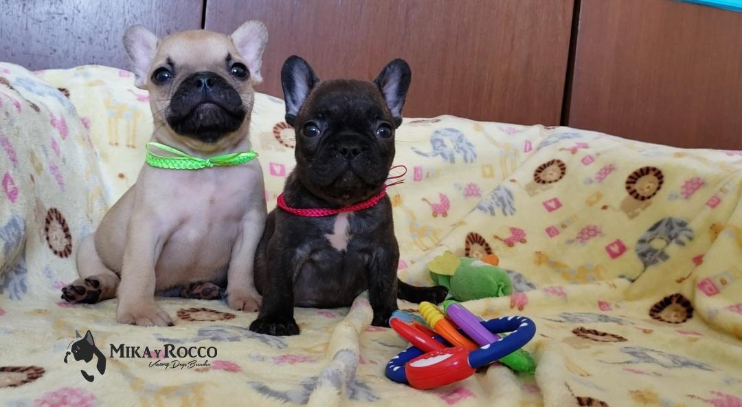 Cachorros_Bulldog_Francés_México_Rocco_M