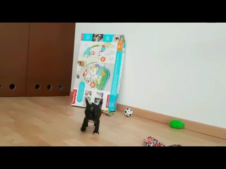 Bulldog_Francés_México_Cachorros.mp4