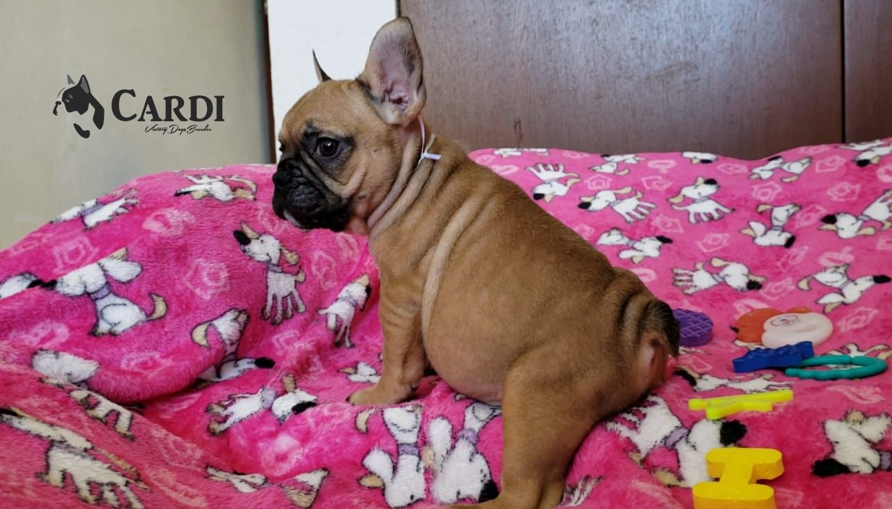 Cardi_Bulldog_Francés_cachorro_México_VD