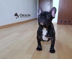 bulldog frances cachorro Orson3