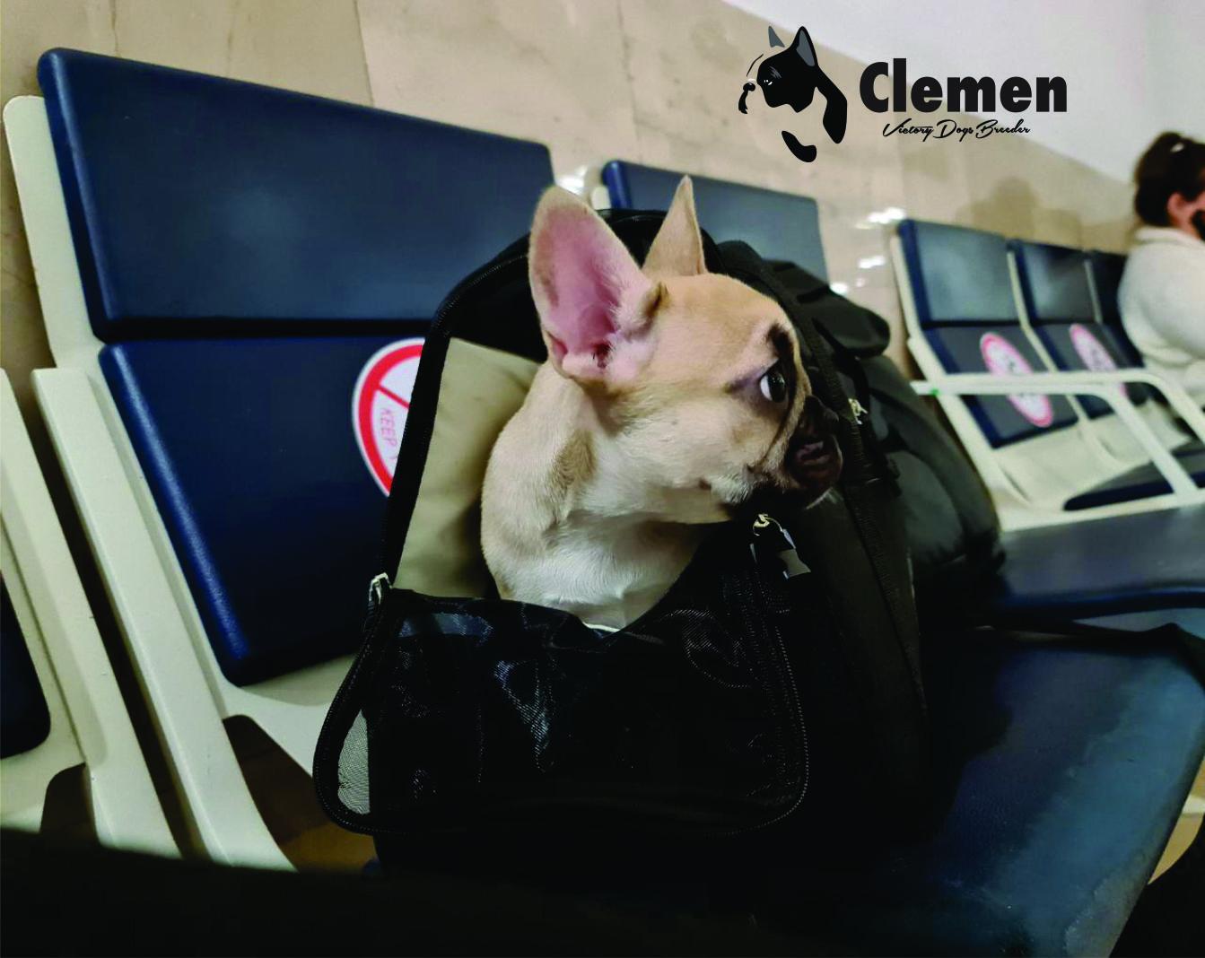 Bulldog Francés México cachorrita Fawn