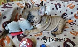 Bulldog_Francés_Jacinto_México
