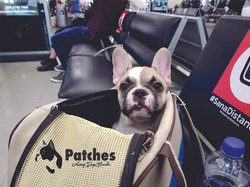 Bulldog Francés México cachorrito Pied