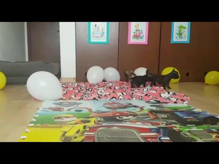 Bulldog_Francés_México_Mía_Ballons.mp4