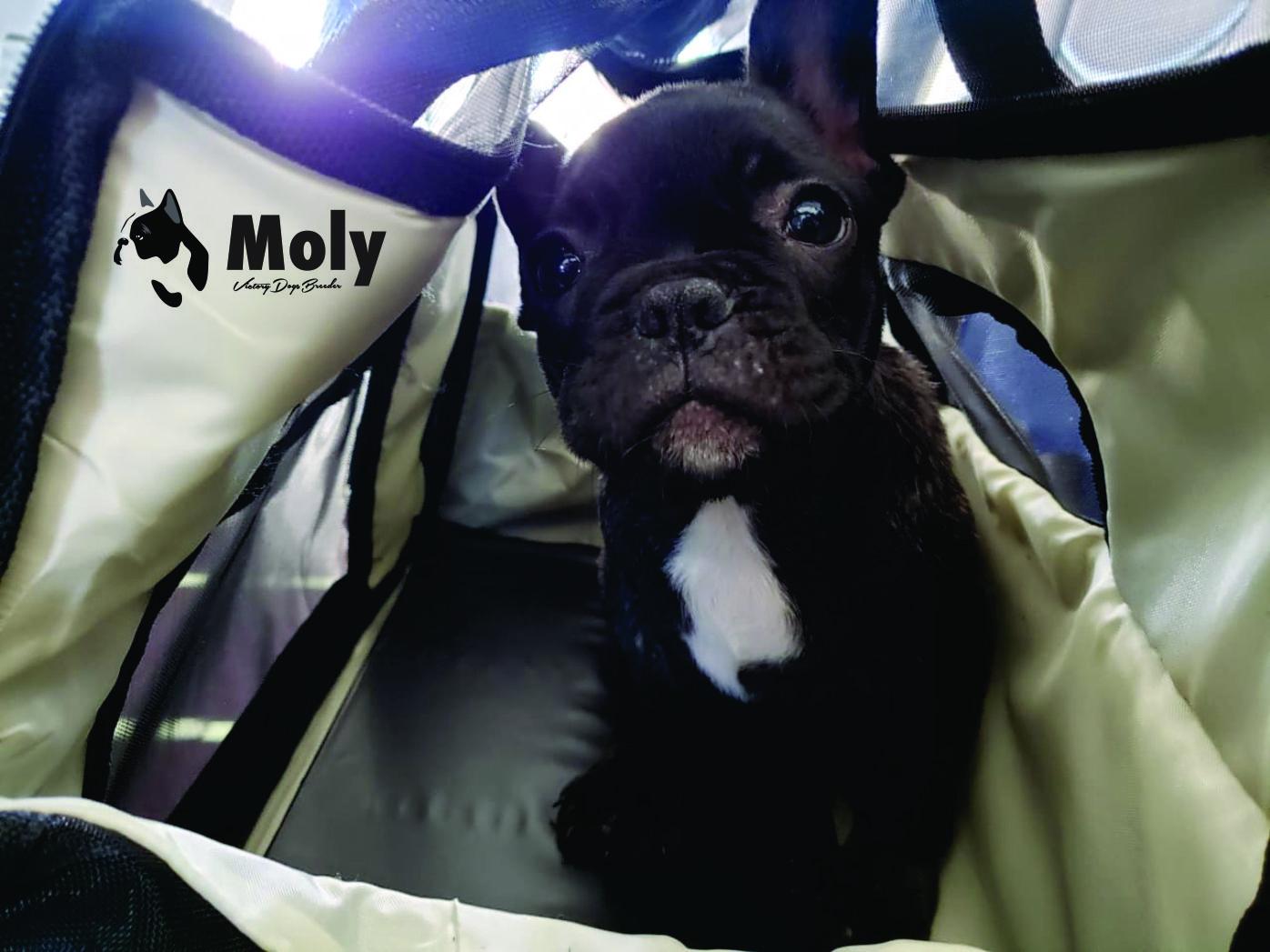Bulldog Francés México cachorrita Moly