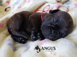 Criadero_Bulldog_Francés_México_Angus_ca