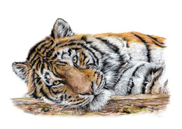 tiger drawing pounched out tranquility P