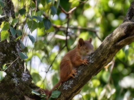 3/21   Mühsam ernährt sich das Eichhörnchen