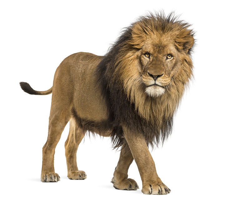 Side view of a Lion walking, looking at
