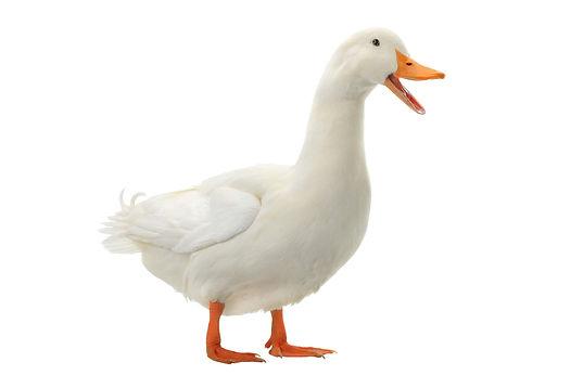 Duck on a white background.jpg