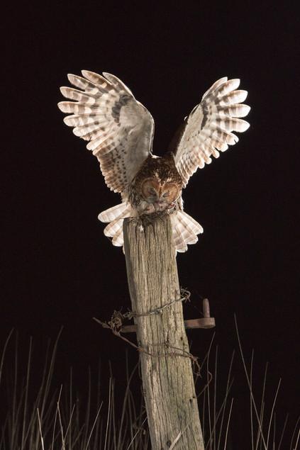 Tawney Owl with prey