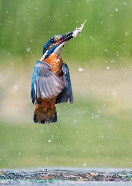 Common Kingfisher Emerging withFish.jpg